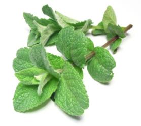 Cornmint-Leaf